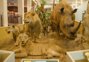interior shot of exhibit in the midwest museum of natural history featuring a rhino, lion, and lionesses