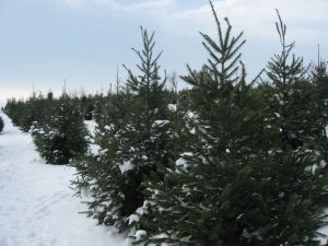 line of christmas trees covered in snow